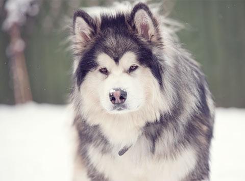 Alaskan malamute?