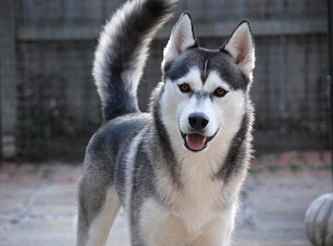 Dogs With Grey Eyes